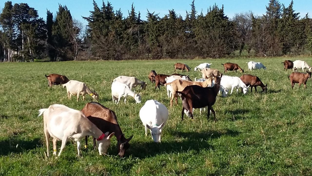 Les chèvres au pré