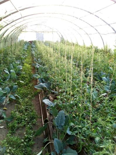 Les tomates arrivent Avril 2017